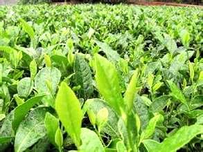 ag集团官网:湖南省雪峰山生态茶业有限公司