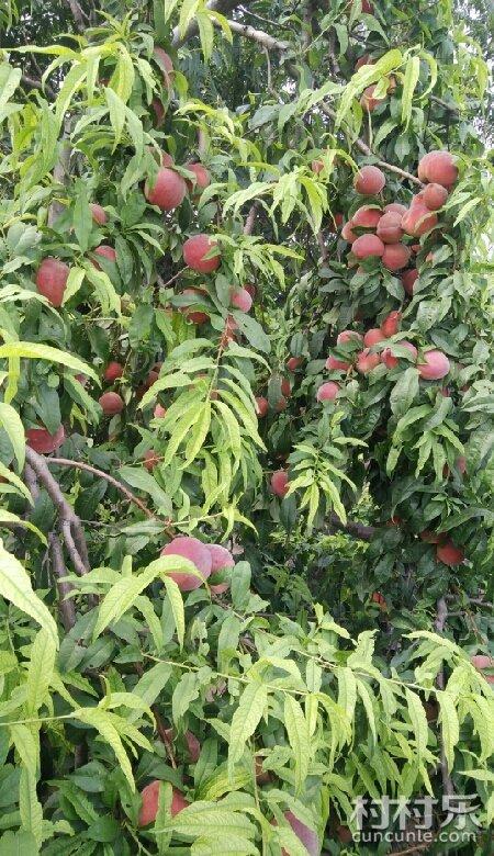 南村的脆桃熟了-平河北特产公众-平合肥-美食乐来村村美食了号南村图片