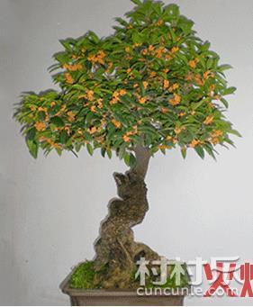 盆景桂花树的嫁接方法