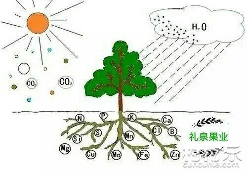桃树的生长和结果习性