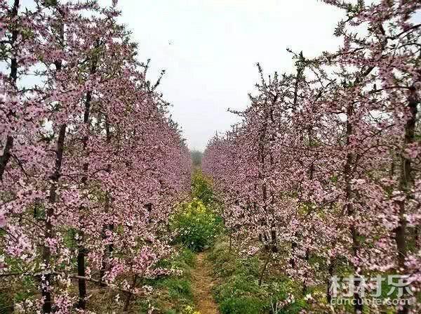 桃树的生长结果习性