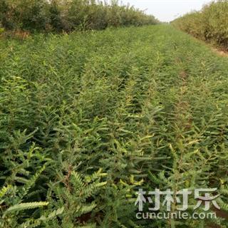 皂角苗价格 大刺皂角苗价格 贵州皂角苗价格 1年大刺皂角苗采购点